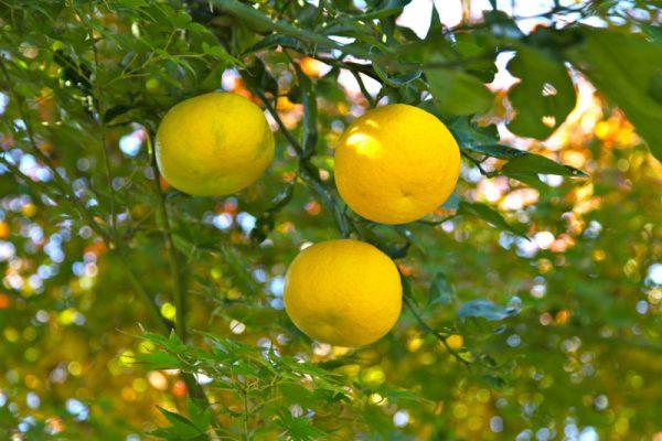 limon ponderosa
